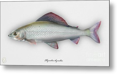 Metal Print featuring the painting Grayling - Thymallus Thymallus - Ombre Commun - Harjus - Flyfishing - Trout Waters - Trout Creek by Urft Valley Art