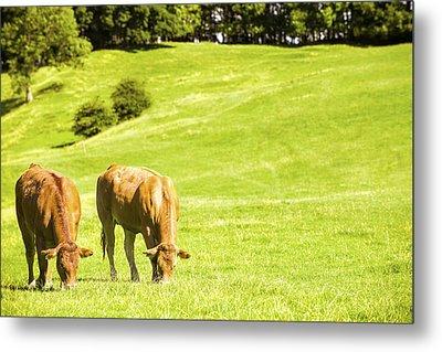 Grazing Cows Metal Print by Amanda Elwell
