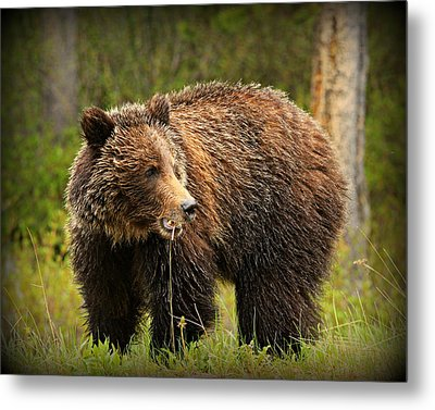 Grazing Grizzly Metal Print by Stephen Stookey