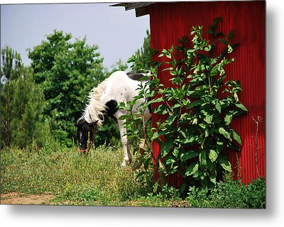 Metal Print featuring the photograph Grazing by Linda Segerson