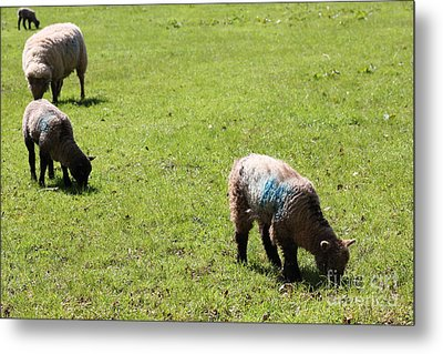 Grazing Metal Print by Vicki Spindler