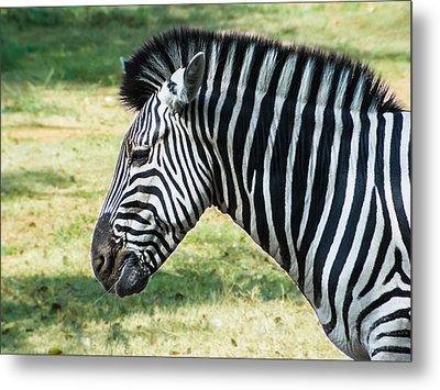 Grazing Zebra Metal Print