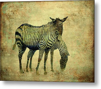 Grazing Zebras Metal Print