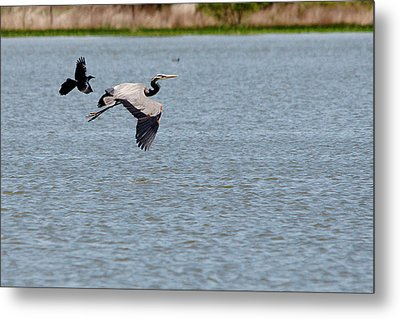 Great Blue Chased By A Grackle Metal Print by Roy Williams