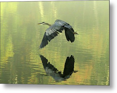 Great Blue Fly-by Metal Print by Douglas Stucky