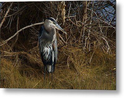Great Blue Heron 2 Metal Print by Greg Vizzi