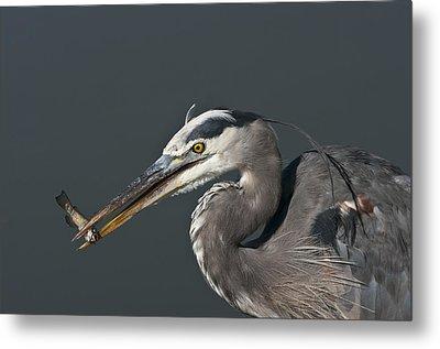 Great Blue Heron - 7345 Metal Print