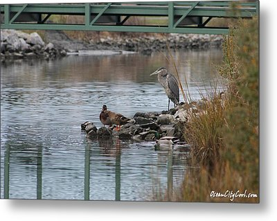 Metal Print featuring the photograph Great Blue Heron And Friends by Robert Banach