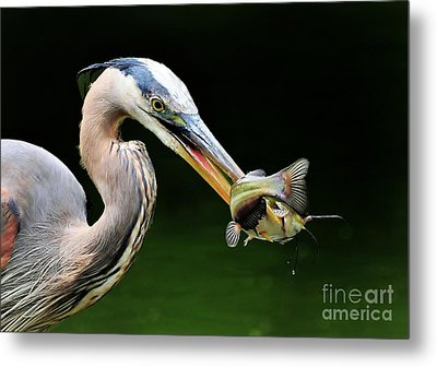 Great Blue Heron And The Catfish Metal Print