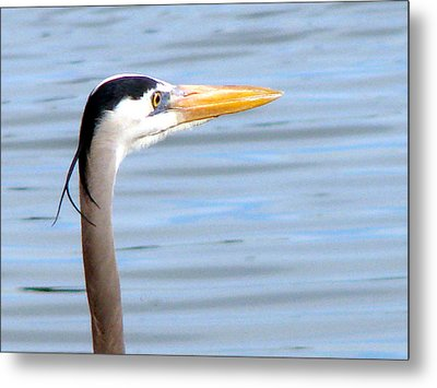 Metal Print featuring the photograph Great Blue Heron Breeding Profile by Linda Cox