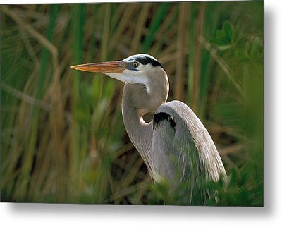 Metal Print featuring the photograph Great Blue Heron by Doug Herr