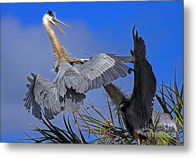 Metal Print featuring the photograph Great Blue Heron Fight  by Larry Nieland