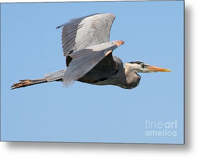 Metal Print featuring the photograph Great Blue Heron Flying by Bob and Jan Shriner