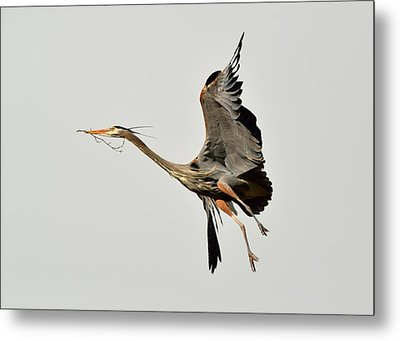 Metal Print featuring the photograph Great Blue Heron In Flight by Kathy King