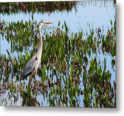 Great Blue Heron In Pickerelweed Metal Print