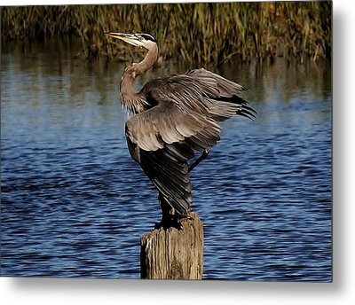 Great Blue Heron In The Marsh - # 17 Metal Print by Paulette Thomas