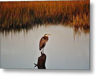 Great Blue Heron In The Marsh - # 20 Metal Print by Paulette Thomas