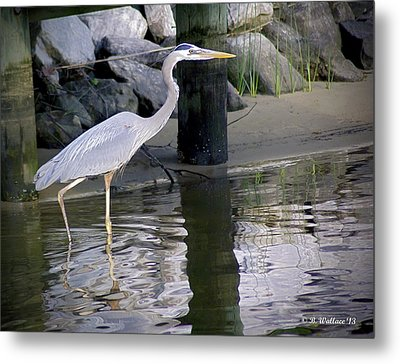 Great Blue Heron - Mealtime Metal Print by Brian Wallace