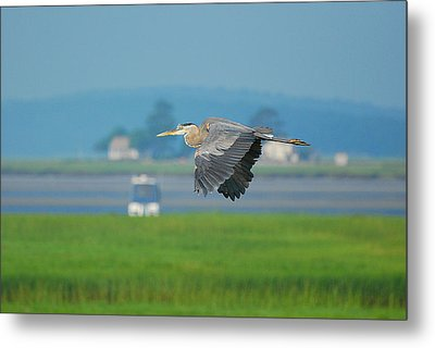 Great Blue Heron Metal Print by Nancy Landry