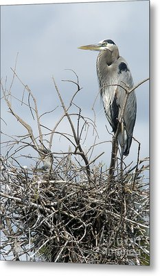 Great Blue Heron Nest With New Chicks Metal Print by Jane Axman