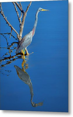 Tricolored Heron Metal Print by Nikolyn McDonald