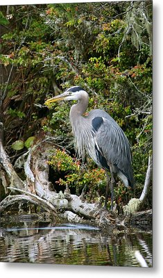 Great Blue Heron On Log Metal Print by Randall Ingalls
