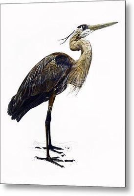 Great Blue Heron Metal Print by Rachel Root