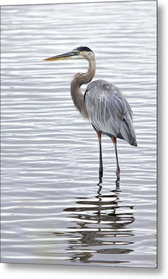 Great Blue Heron Standing In Water Metal Print by Dorothy Cunningham