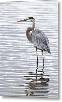 Great Blue Heron Standing In Water Metal Print