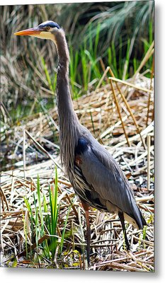 Great Blue Heron Standing Tall Metal Print by Terry Elniski