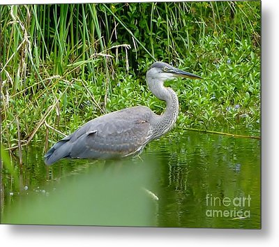 Metal Print featuring the photograph Great Blue Heron  by Susan Garren