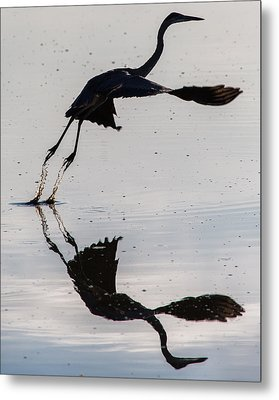 Great Blue Heron Takeoff Metal Print by John Daly