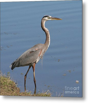Metal Print featuring the photograph Great Blue Heron Wading by Bob and Jan Shriner