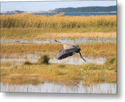 Great Blue Heron Wellfleet Bay Marsh Metal Print