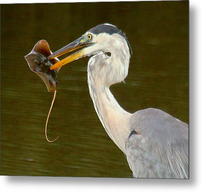 Great Blue Heron With Stingray Metal Print