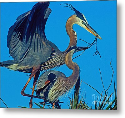 Metal Print featuring the photograph Great Blue Herons - Nest Building by Larry Nieland