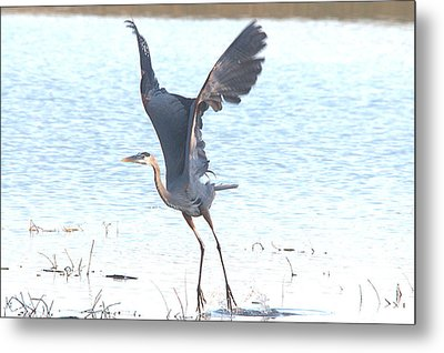 Great Blue Lift Off Series 1 Metal Print by Roy Williams