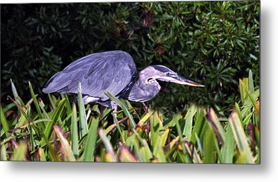 Great Blue On The Hunt. Chassahowtizka N.w.r. Metal Print by Chris  Kusik