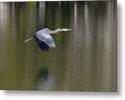 Metal Print featuring the photograph Great Blue Over Green by Paul Rebmann