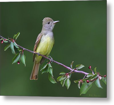 Metal Print featuring the photograph Great Crested Flycatcher by Daniel Behm