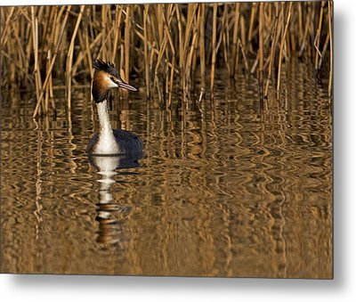 Metal Print featuring the photograph Great Crested Grebe by Paul Scoullar