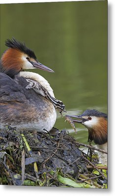 Great Crested Grebes Feeding Chick Metal Print
