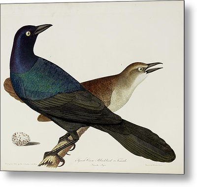 Great Crow Blackbird Metal Print by British Library