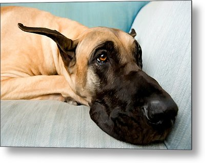 Great Dane Dog On Sofa Metal Print by Lanjee Chee