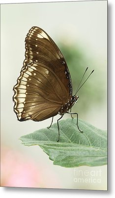 Great Eggfly Butterfly Metal Print by Judy Whitton