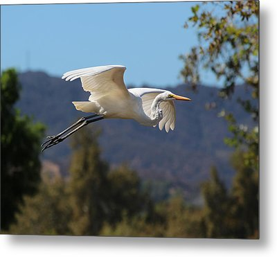 Great Egret 11x14 Metal Print