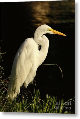 Great Egret At Morning Metal Print by Robert Frederick