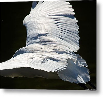 Metal Print featuring the photograph Great Egret by Avian Resources