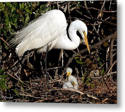 Great Egret Chicky Doos Metal Print