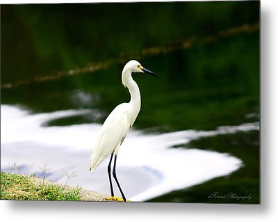 Great Egret Metal Print by Debra Forand